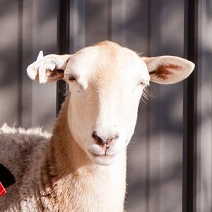 No Bull Prime Meats Lamb & Goat