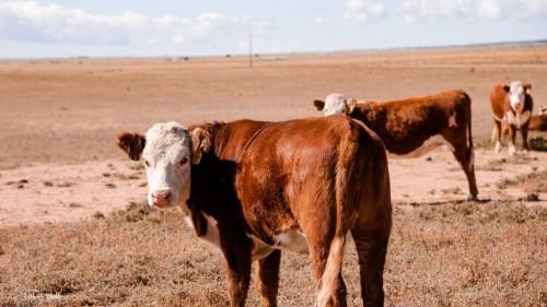 No Bull Prime Meats Cows1