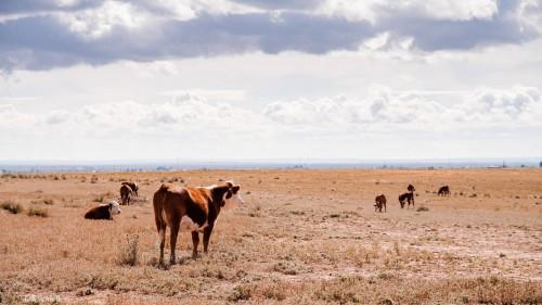 No Bull Prime Meats Cows2