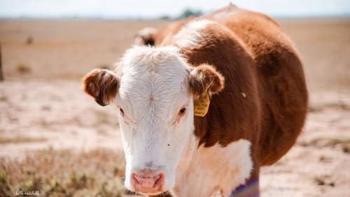 No Bull Prime Meats Cows5