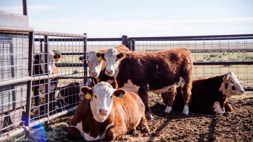 No Bull Prime Meats Feed Yard2