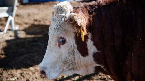 No Bull Prime Meats Feed Yard3