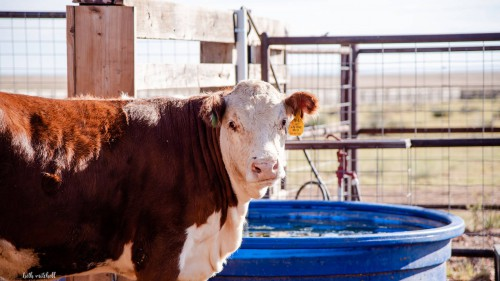 No Bull Prime Meats Feed Yard4