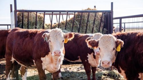 No Bull Prime Meats Feed Yard7