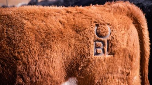 No Bull Prime Meats Calves2