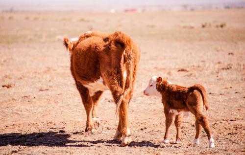No Bull Prime Meats Calves3