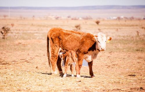 No Bull Prime Meats Calves4