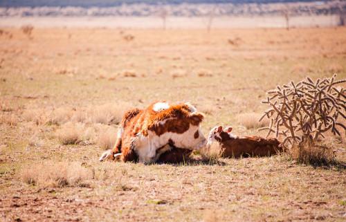 No Bull Prime Meats Calves5