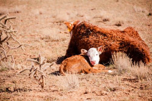 No Bull Prime Meats Calves6