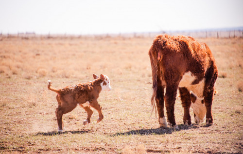 No Bull Prime Meats Calves7