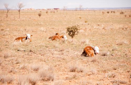 No Bull Prime Meats Calves8