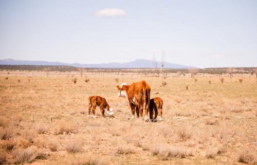 No Bull Prime Meats Calves9