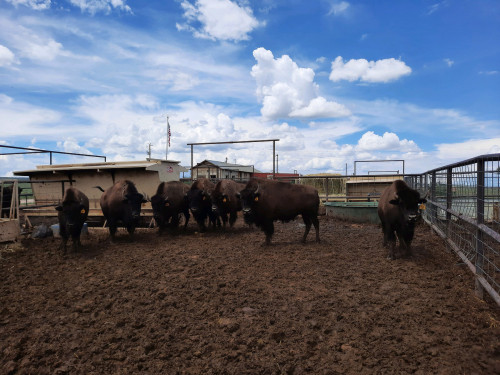 No Bull Prime Meats Buffalo6