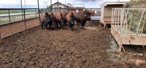 No Bull Prime Meats Buffalo7