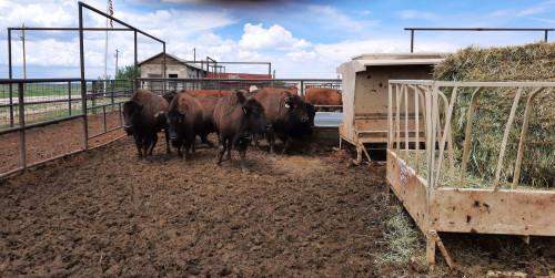 No Bull Prime Meats Buffalo8